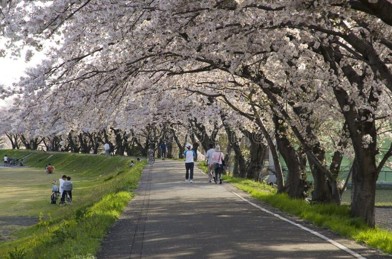 Cherry Blosom nel Giappone immagine stock