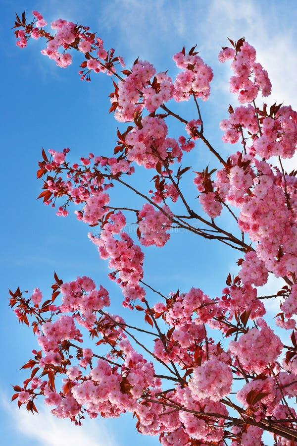 cherry blossing zdjęcie royalty free