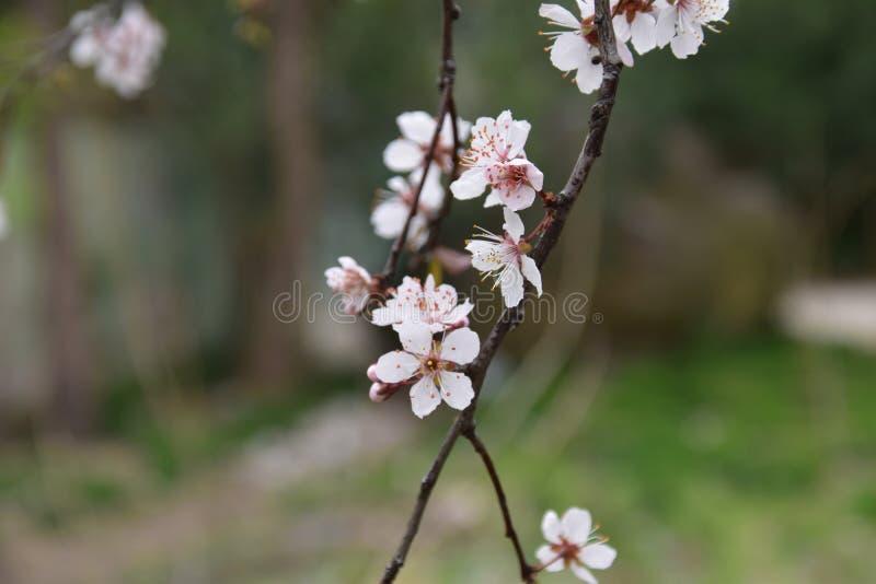 Cherry Blossom à Changhaï photo stock