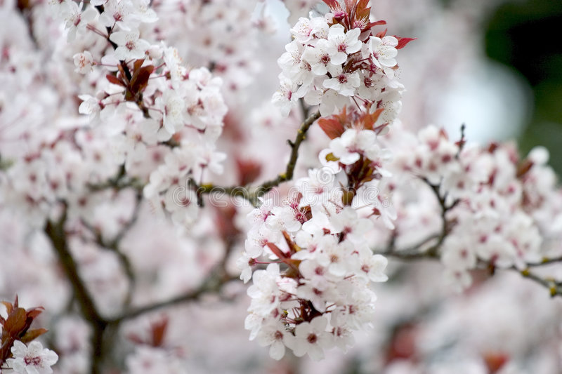 Download Cherry Blossom 1 stock photo. Image of blossom, plant, cherry - 119580