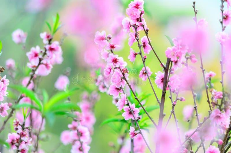 Cherry Blossom stock foto