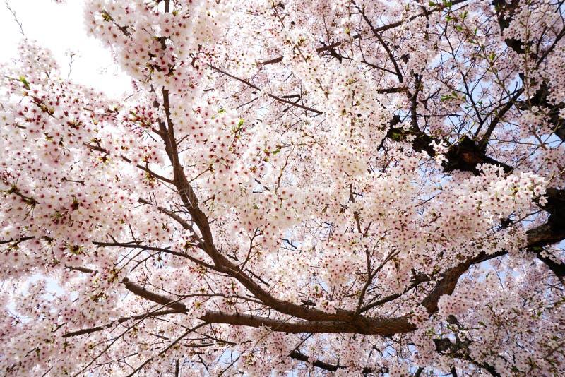 Cherry Blossom fotografia stock