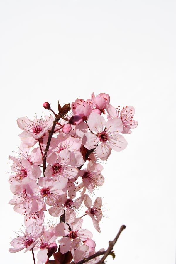 Free Cherry Blossom Royalty Free Stock Photo - 1116475