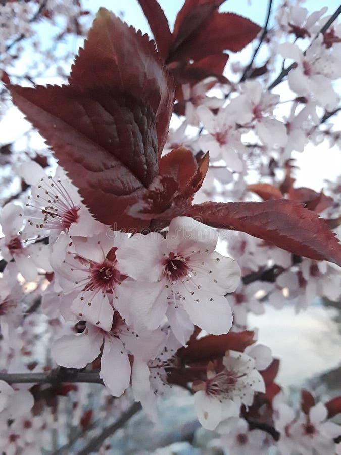 Cherry Blossom immagine stock libera da diritti