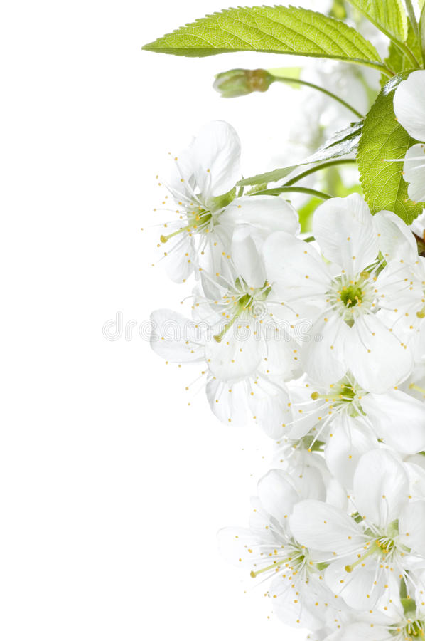 Download Cherry Blossom Royalty Free Stock Photo - Image: 11983965