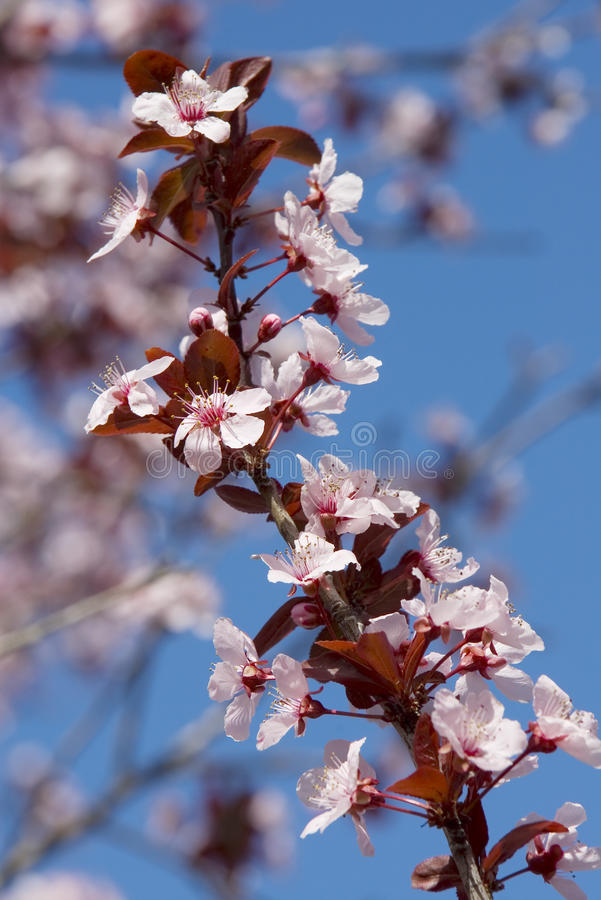 Download Cherry blossom stock photo. Image of colorful, blooming - 13655920