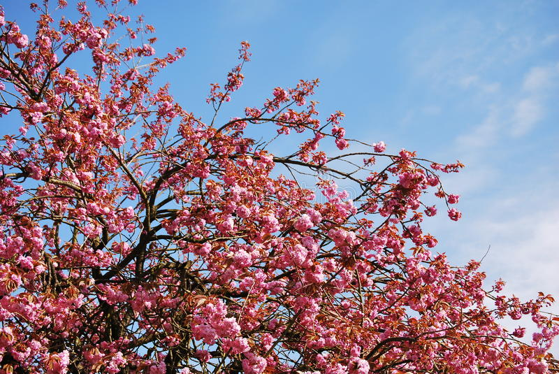 Download Cherry Blossom stock image. Image of pure, cherry, pretty - 13868999