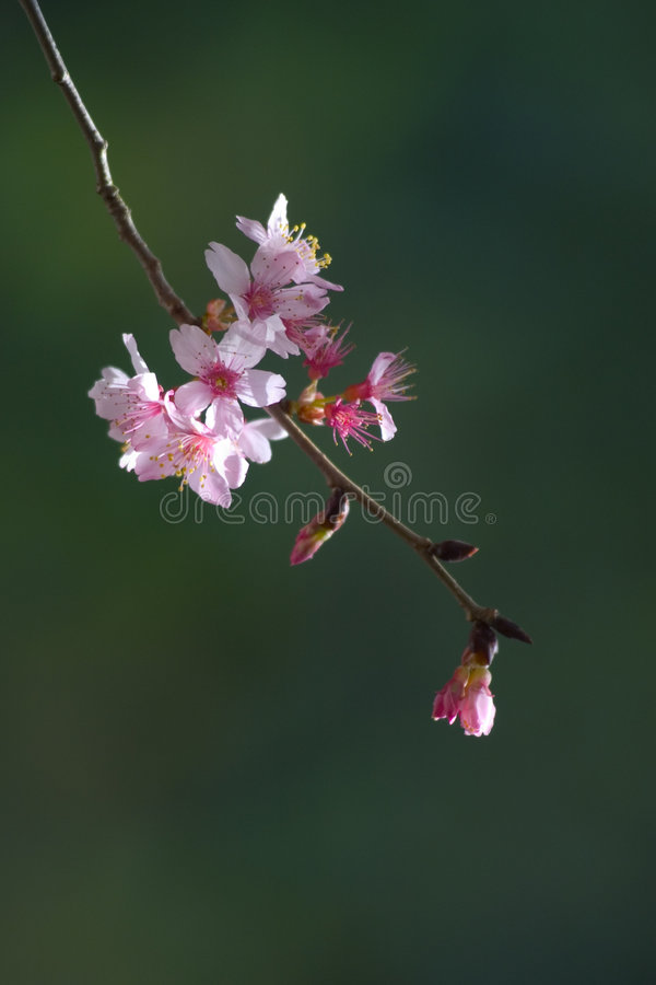 Download Cherry Blossom stock image. Image of plant, close, nature - 16719