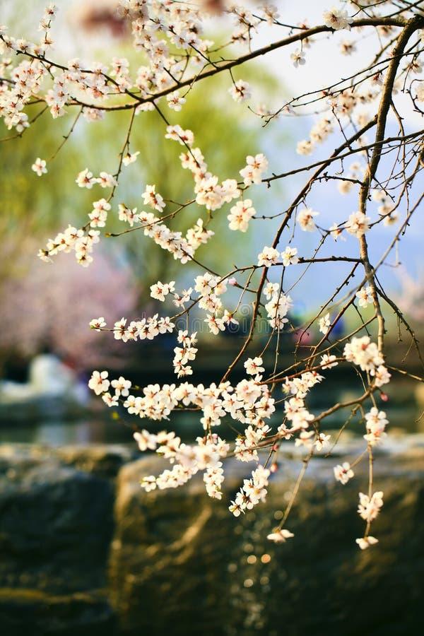 Free Cherry Blossom Royalty Free Stock Photos - 19193778