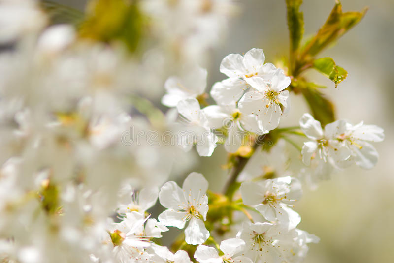 Download Cherry blossom stock photo. Image of botanic, natural - 19204436