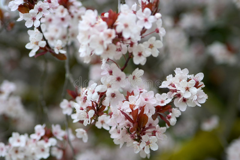 Download Cherry Blossom 2 stock image. Image of floral, bloom, plants - 119579