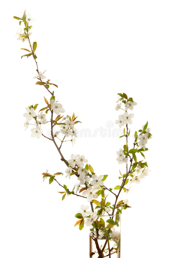 Cherry in blossom royalty free stock photography