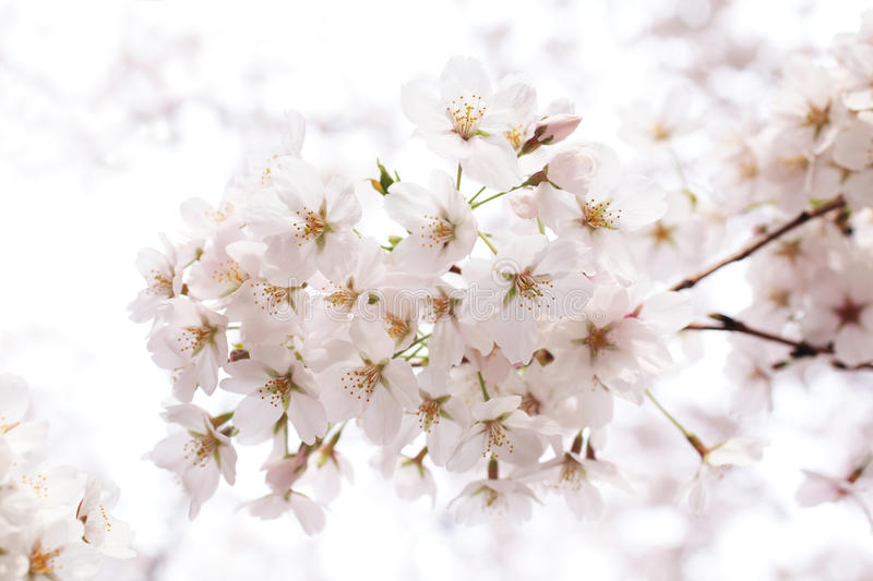 Download Cherry blossom stock photo. Image of freshness, bloom - 22956876