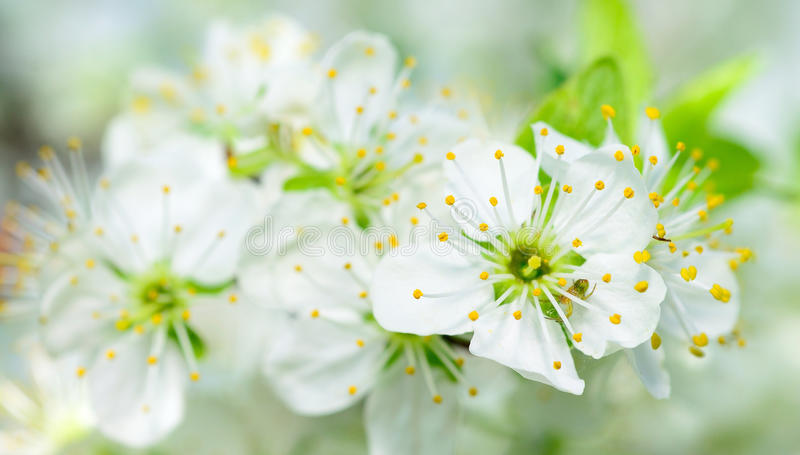 Download Cherry blossom stock photo. Image of floral, blooming - 24612922