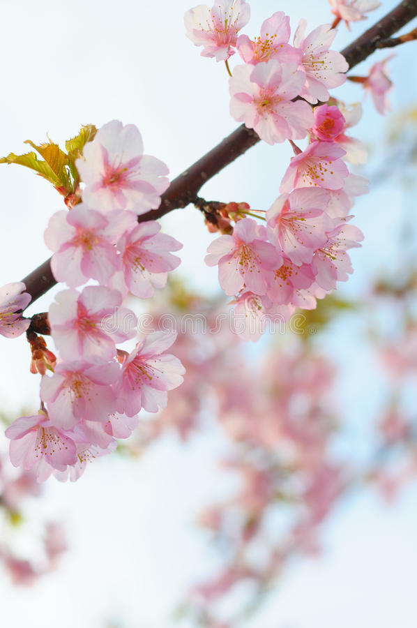 Download Cherry blossom stock photo. Image of blooming, 河津桜, flower - 26372650