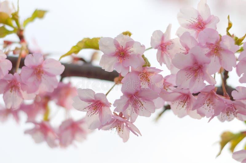 Download Cherry blossom stock photo. Image of kawazu, petal, close - 26372656