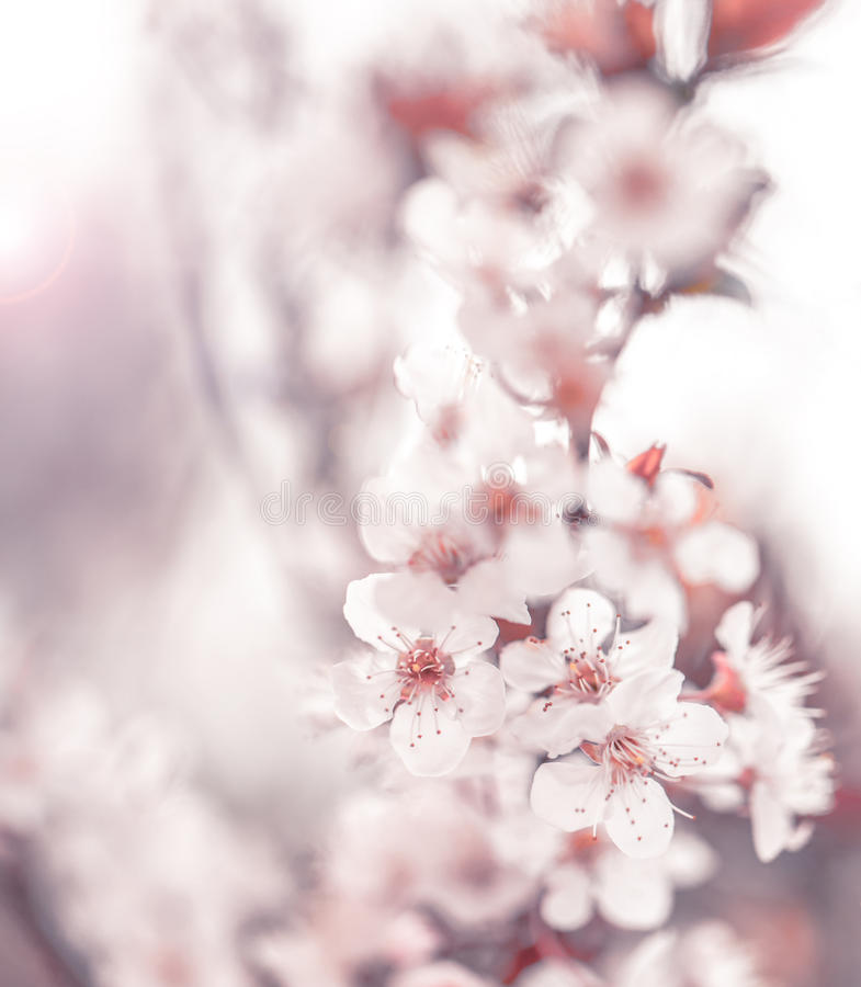 Free Cherry Blossom Stock Images - 29680404