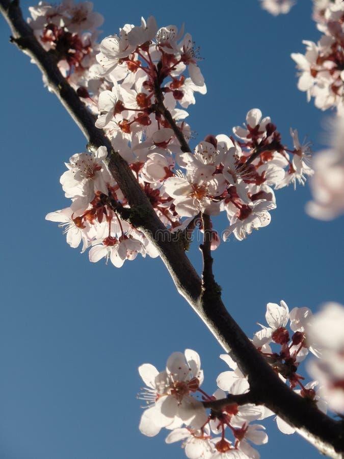 Cherry Blossom stockbild
