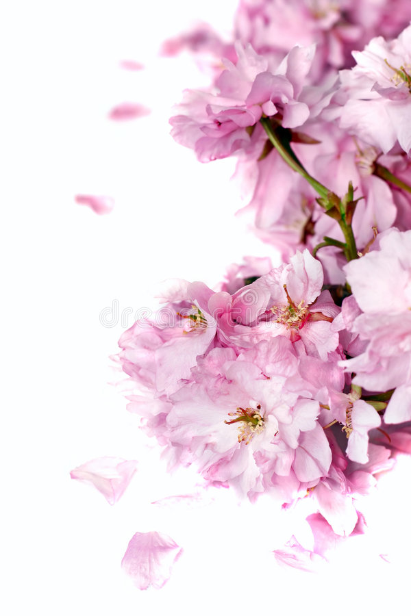 Download Cherry blossom stock photo. Image of cherry, delicate - 5043038