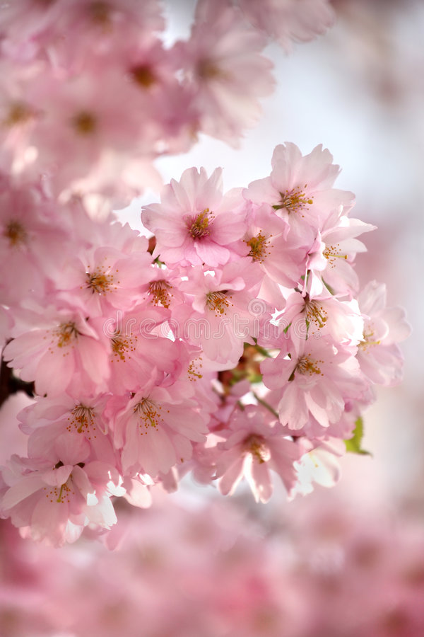 Download Cherry blossom stock photo. Image of culture, oriental - 5075548