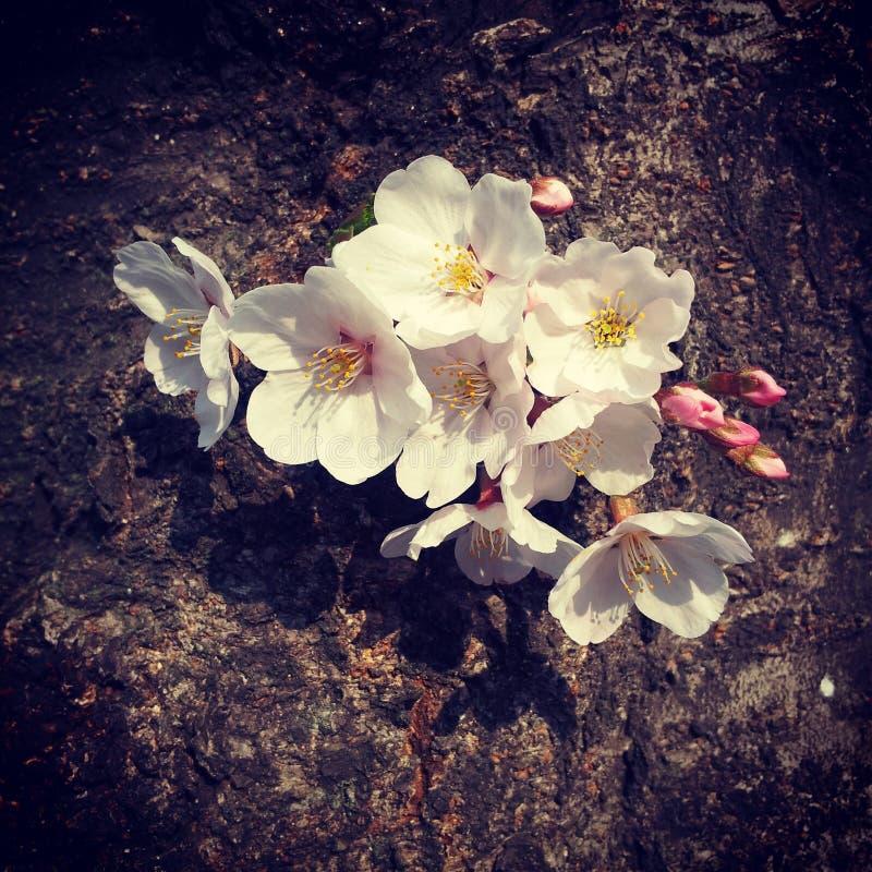 Cherry Blossom stock afbeeldingen