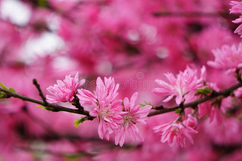 Cherry Blossom photo stock