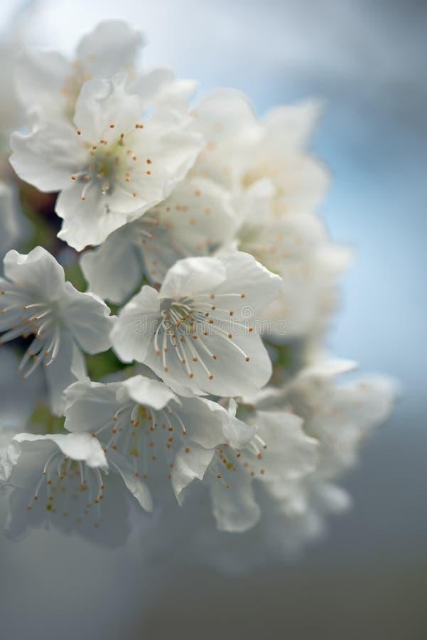 Cherry Blossom lizenzfreies stockbild