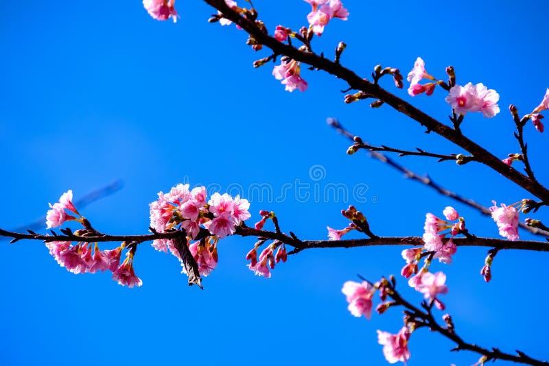 Cherry Blossom Against Blue Sky cor-de-rosa imagem de stock royalty free