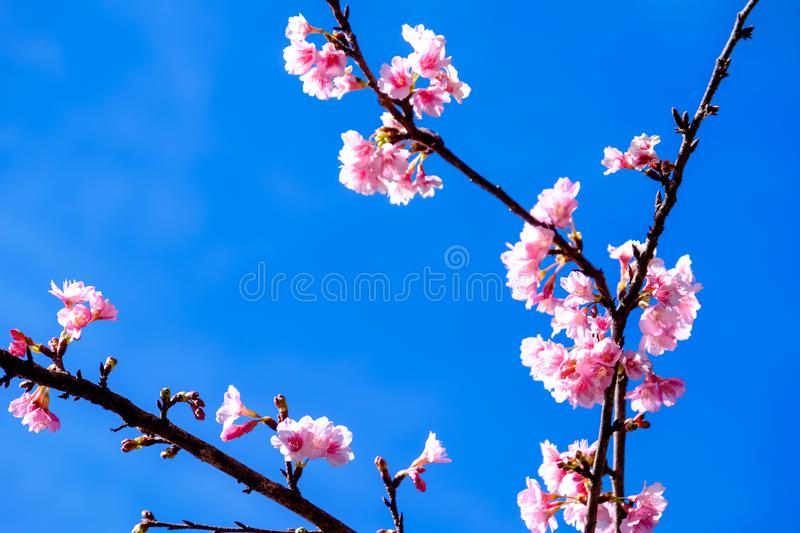 Cherry Blossom Against Blue Sky rosa fotografie stock