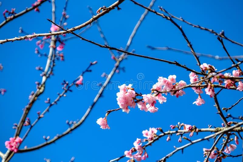 Cherry Blossom Against Blue Sky rosado imágenes de archivo libres de regalías