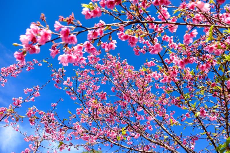 Cherry Blossom Against Blue Sky rosado foto de archivo