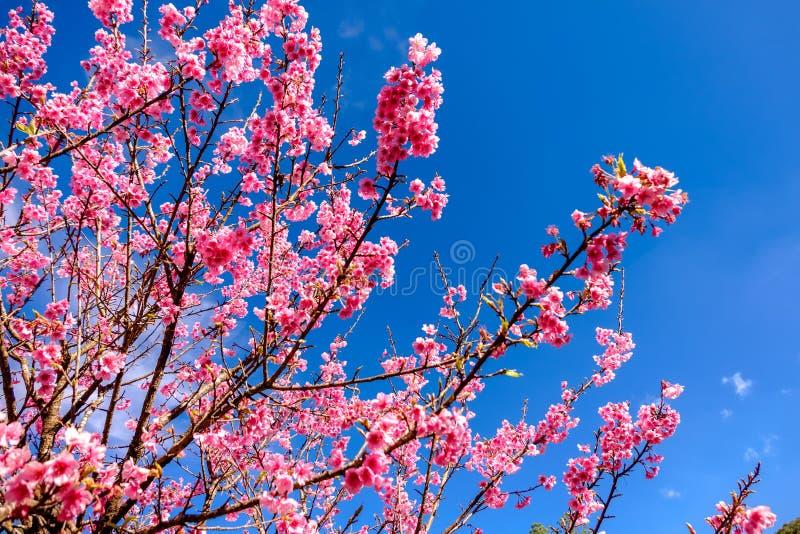 Cherry Blossom Against Blue Sky rosado imagenes de archivo