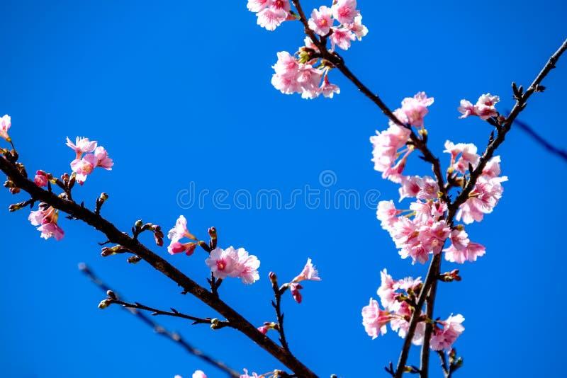 Cherry Blossom Against Blue Sky rose image libre de droits