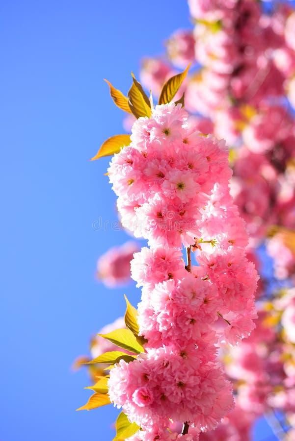 Cherry Blossom Albero del fiore sopra il fondo della natura Ciliegio di Sacura Piovuto appena sopra Modello di fiori della primav immagine stock