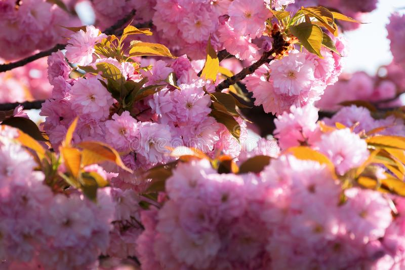 Cherry blossom. beautiful natural background royalty free stock photo