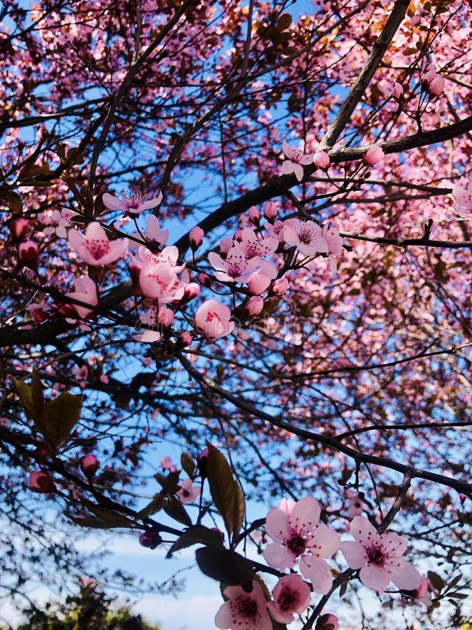 Cherry Blossom immagine stock