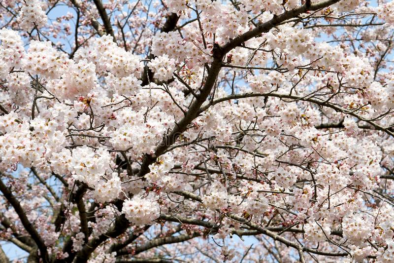Cherry Blossom Blooming fotos de archivo