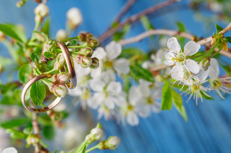 Cherry blossom on blue background. Copy space, very selective focus with wedding rings royalty free stock photo