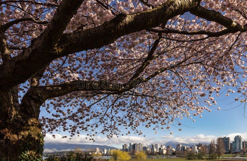 Cherry Blossom-boom met de horizon van Vancouver stock foto
