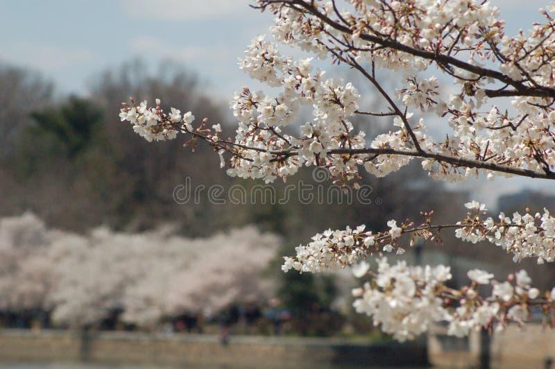 Cherry Blossom Branch Washington, D C met kersenbomen op achtergrond stock fotografie
