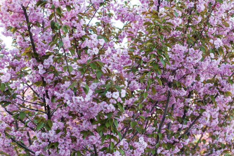 Cherry blossom branches, pink sakura flowers, natural spring background stock photography