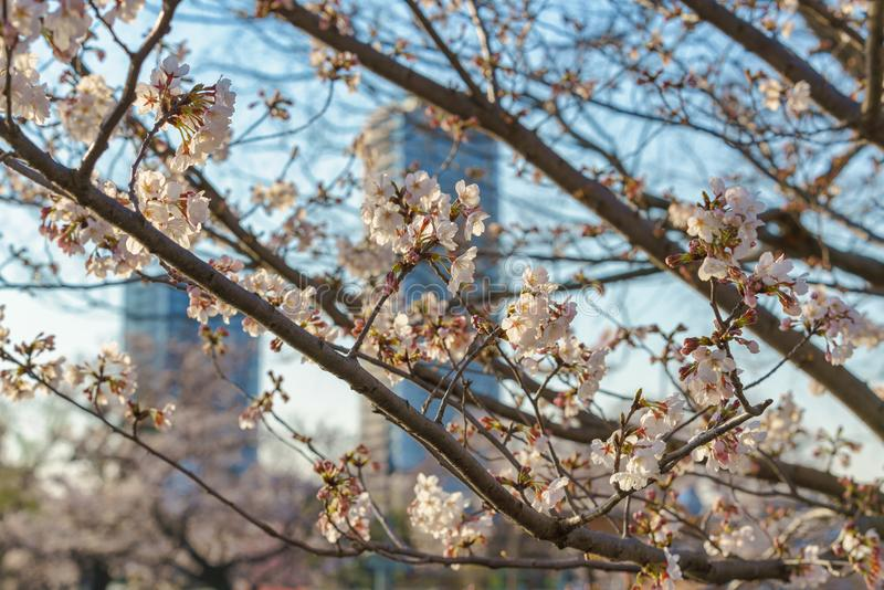 Cherry Blossom Branches in Tokyo lizenzfreie stockfotografie