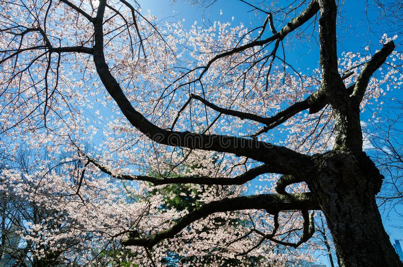Cherry blossom in Central Park, New York stock image