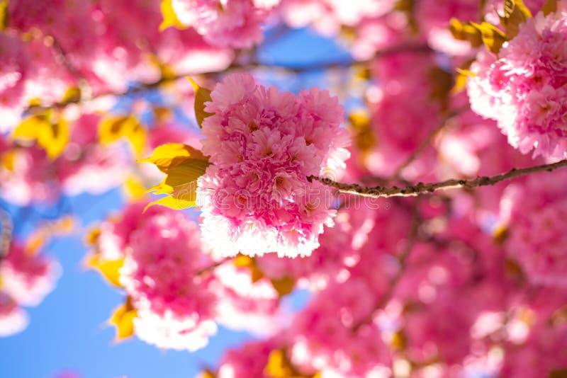 Cherry Blossom Cereja-árvore de Sacura Flores delicadas da mola do ramo primavera Flores da mola com fundo azul e fotos de stock