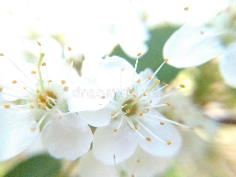 Cherry blossom 2018 stock images