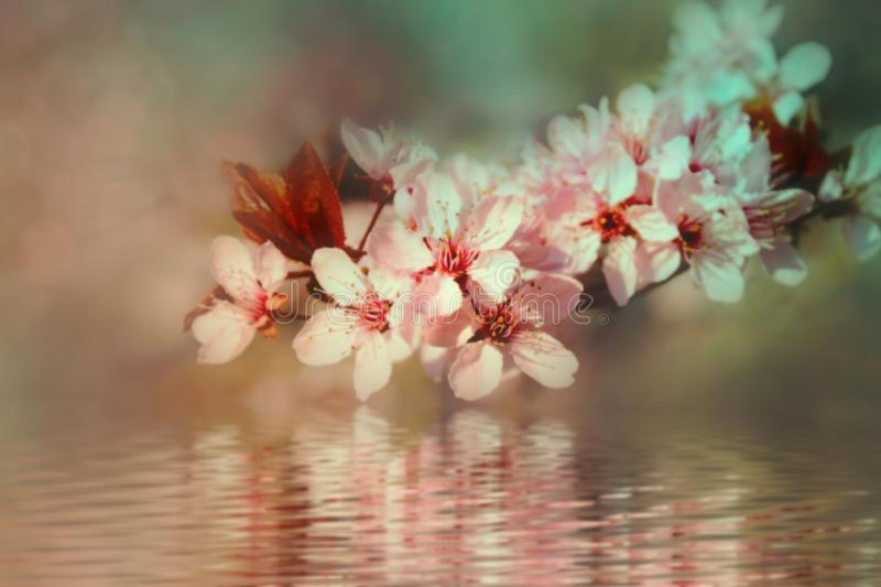 Cherry blossom. Closeup of pale pink and white cherry blossoms on the bough of the tree over a wet  surface with ripples and blurred reflections stock photo