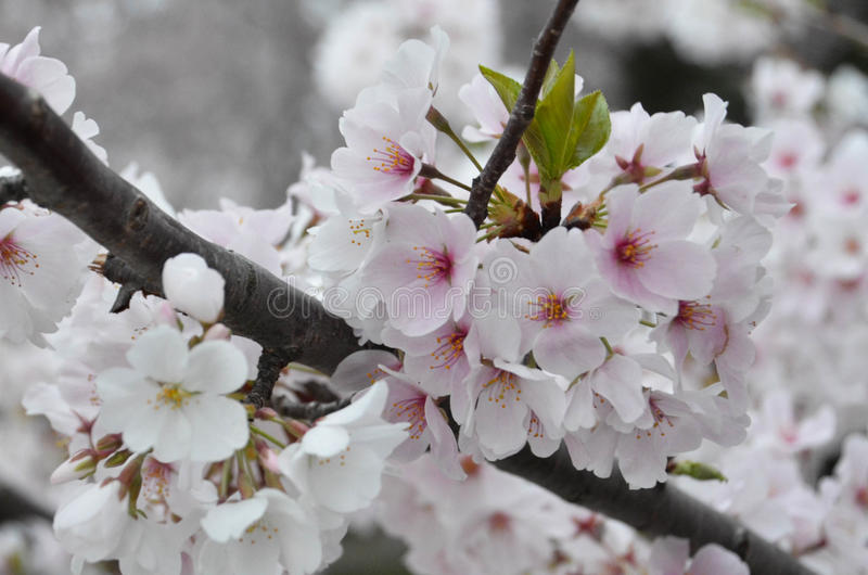 Cherry Blossom Cluster in Full Bloom stock photos