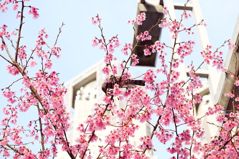 Cherry Blossom con un pequeño pájaro foto de archivo libre de regalías
