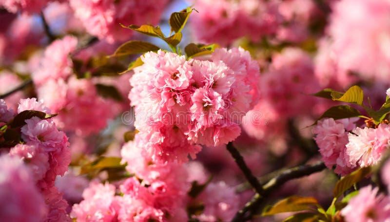 Cherry Blossom Copenhaga Sakura Festival Cereja-árvore de Sacura Árvore da flor sobre o fundo da natureza Apenas chovido sobre fotografia de stock royalty free