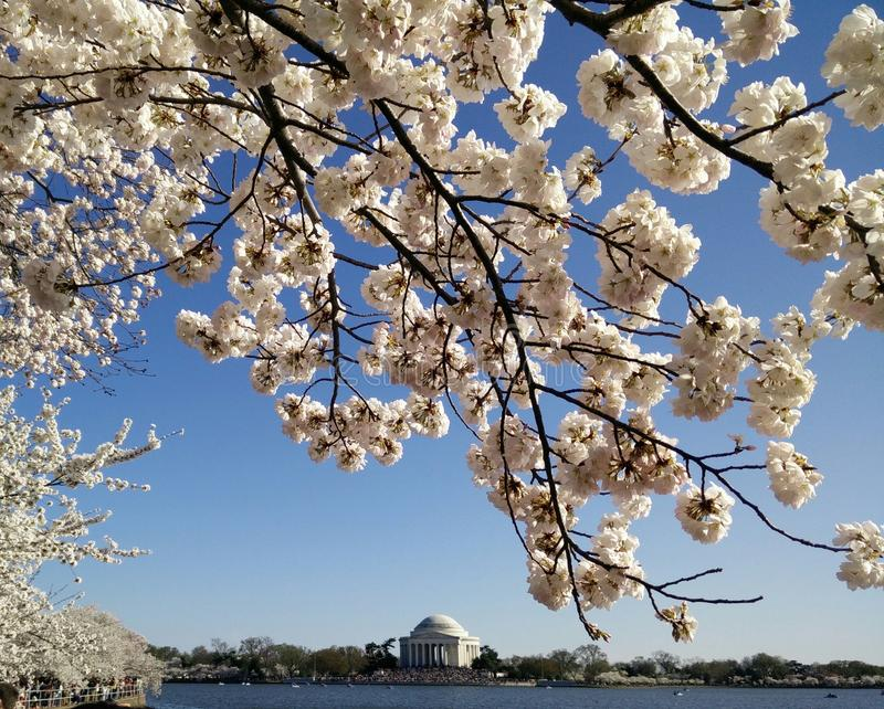 Cherry Blossom da C.C. imagem de stock royalty free